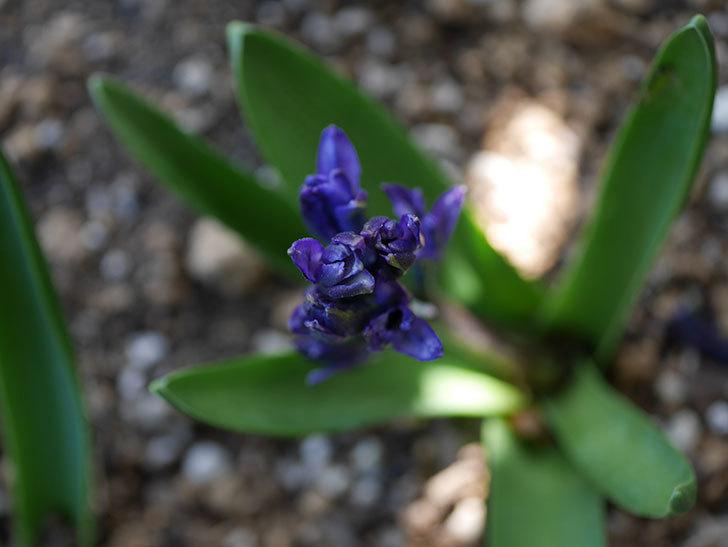 紫のヒヤシンスが咲きだした。2021年-002.jpg