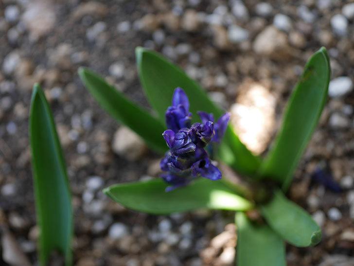 紫のヒヤシンスが咲きだした。2021年-003.jpg