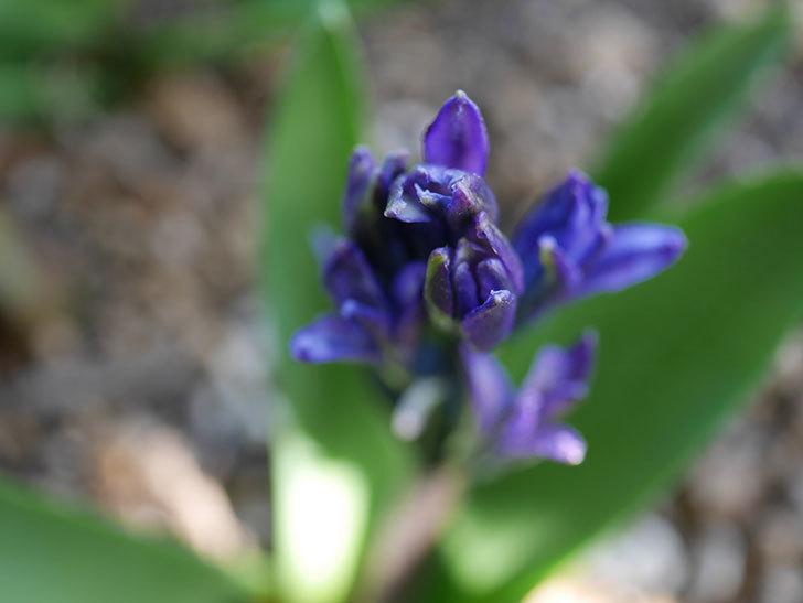 紫のヒヤシンスが咲きだした。2021年-007.jpg