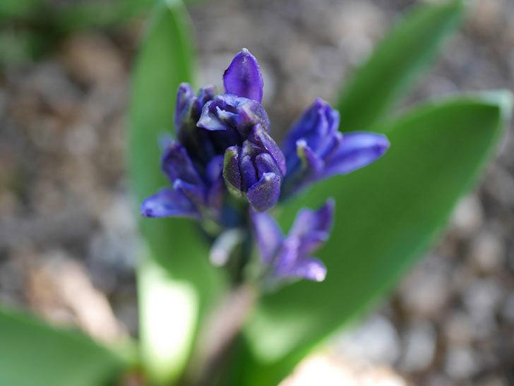 紫のヒヤシンスが咲きだした。2021年-008.jpg