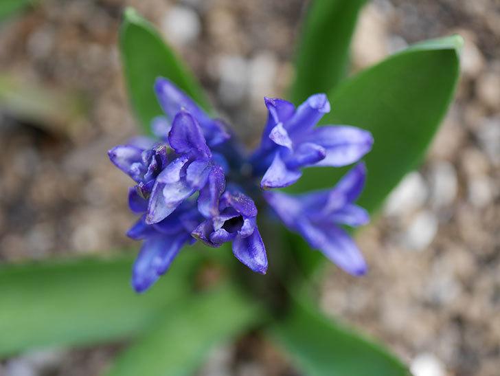 紫のヒヤシンスが咲きだした。2021年-011.jpg