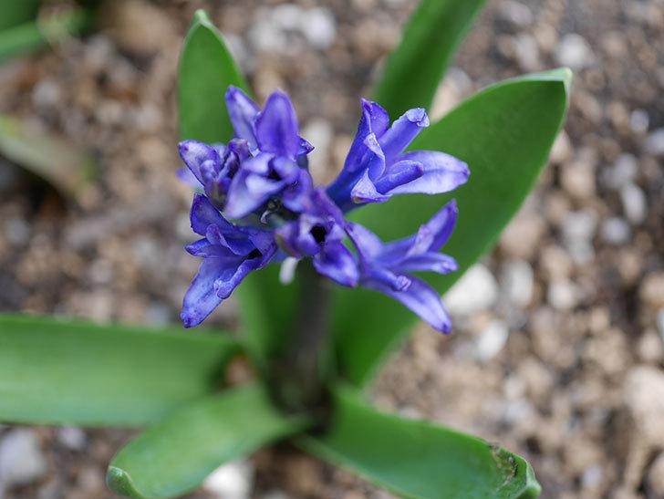 紫のヒヤシンスが咲きだした。2021年-013.jpg