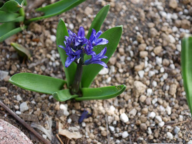 紫のヒヤシンスが咲きだした。2021年-014.jpg