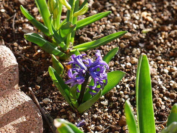 紫のヒヤシンスが咲きだした。2021年-015.jpg
