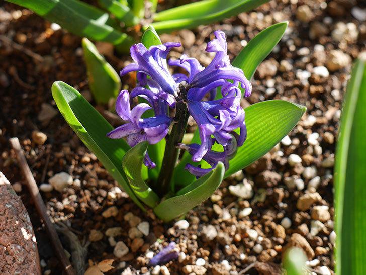 紫のヒヤシンスが咲きだした。2021年-018.jpg