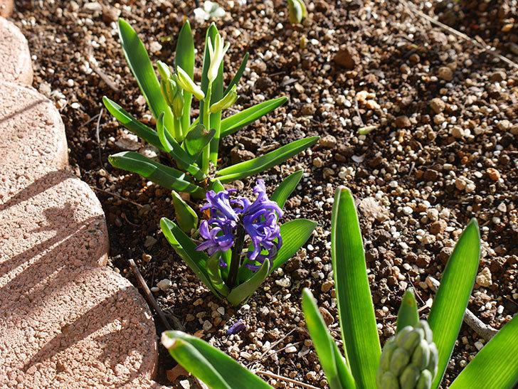 紫のヒヤシンスが咲きだした。2021年-020.jpg