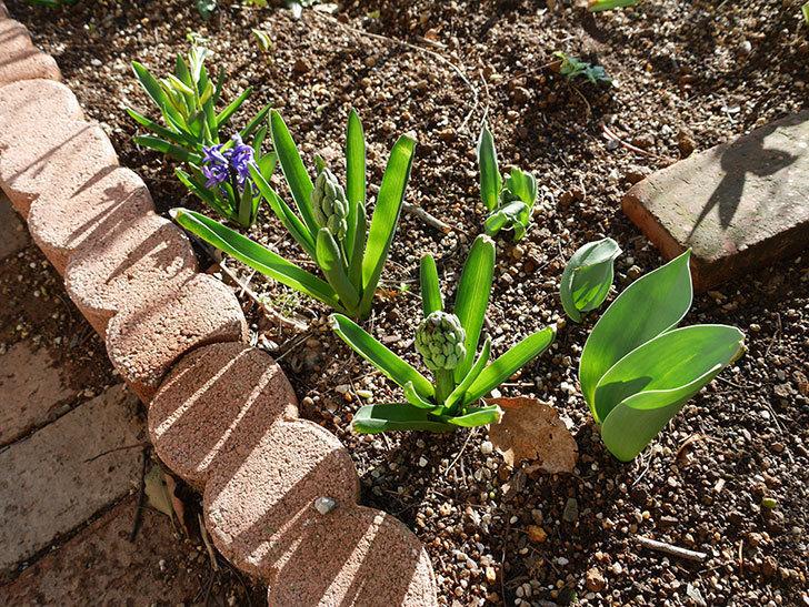 紫のヒヤシンスが咲きだした。2021年-021.jpg