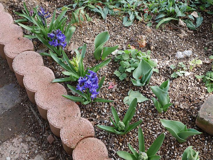 紫のヒヤシンスの花が増えて来た。2020年-2.jpg
