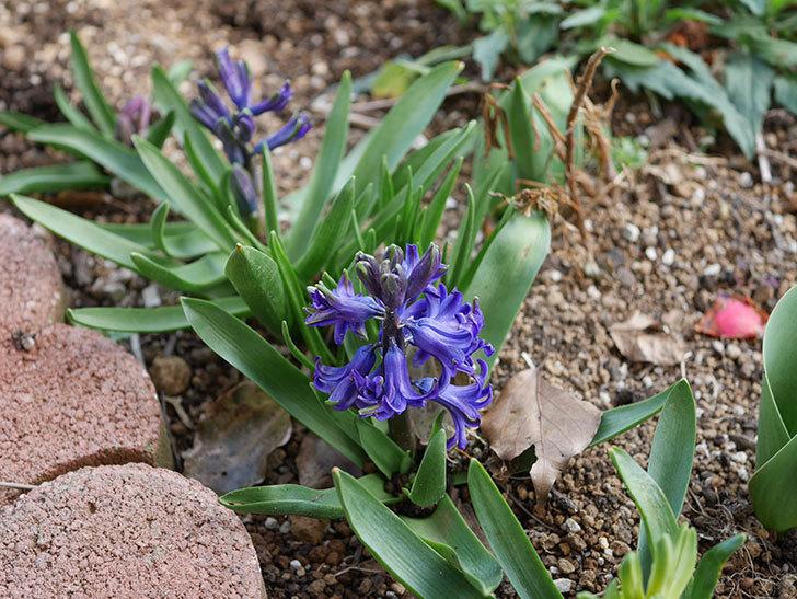 紫のヒヤシンスの花が増えて来た。2020年-4.jpg