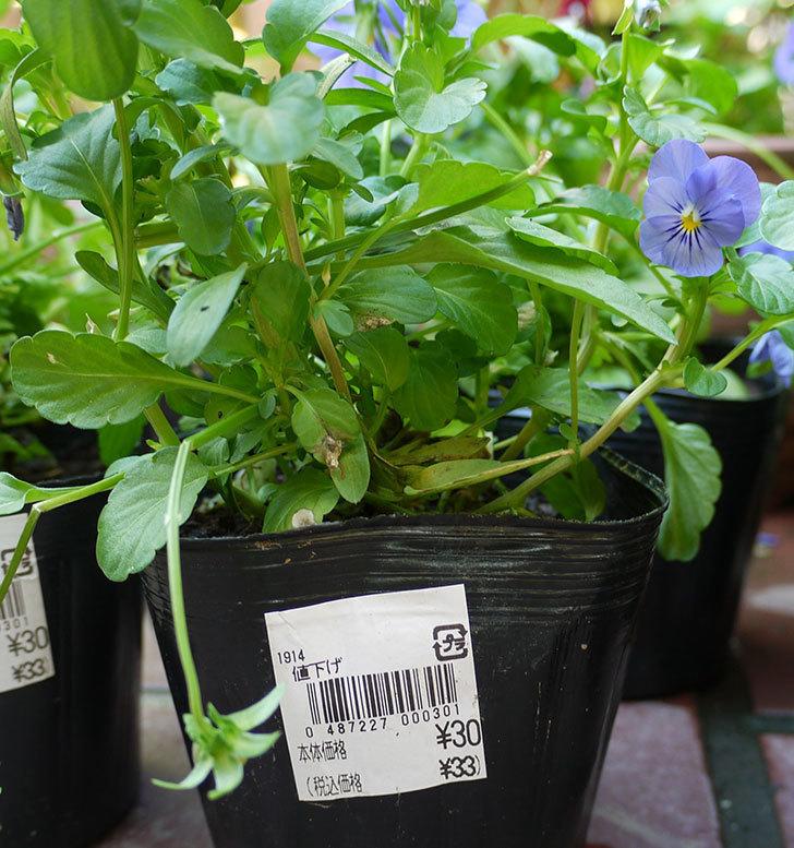 紫のビオラが33円だったので6個買ってきた。2016年-3.jpg