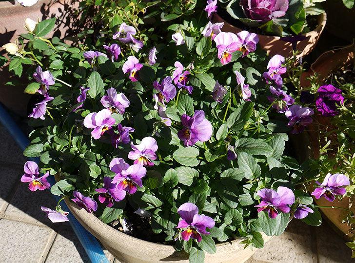 紫のビオラが咲いた。2015年-1.jpg