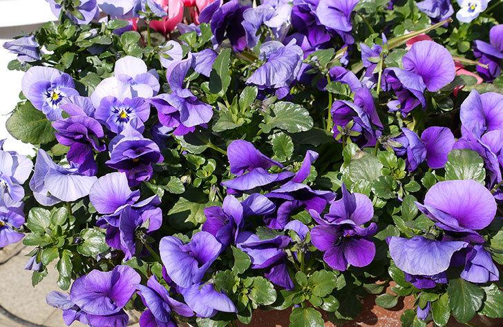 紫のビオラが満開になっている2.jpg