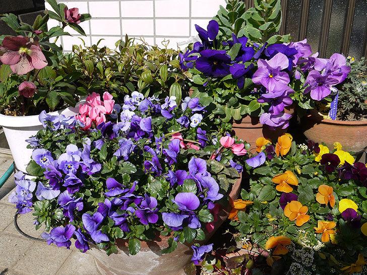 紫のビオラが満開になっている3.jpg