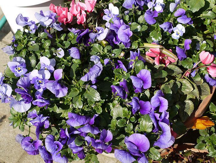 紫のビオラが満開になっている4.jpg