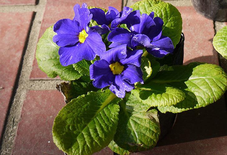 紫のプリムラ・ジュリアンがケイヨーデイツーで半額だったので5個買って来た。2015年-2.jpg