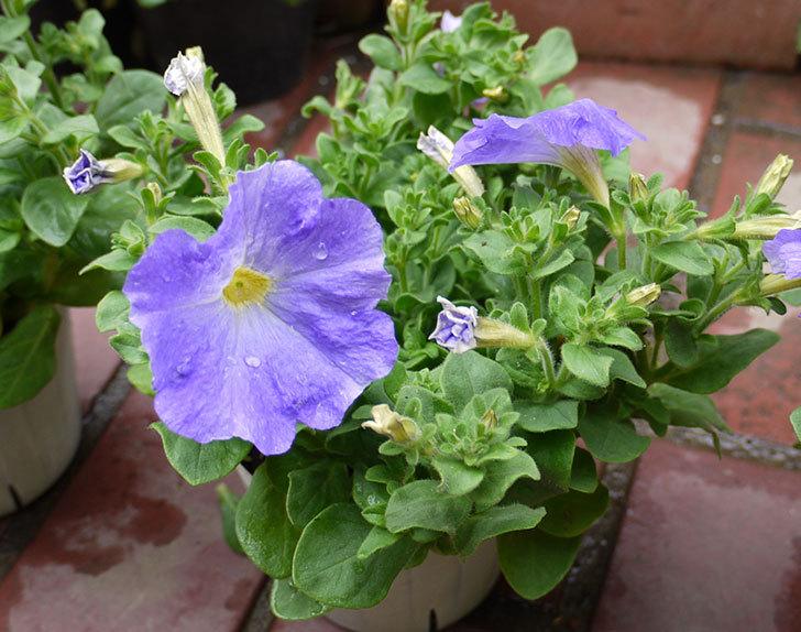 紫のペチュニアをホームズで買って来た4.jpg