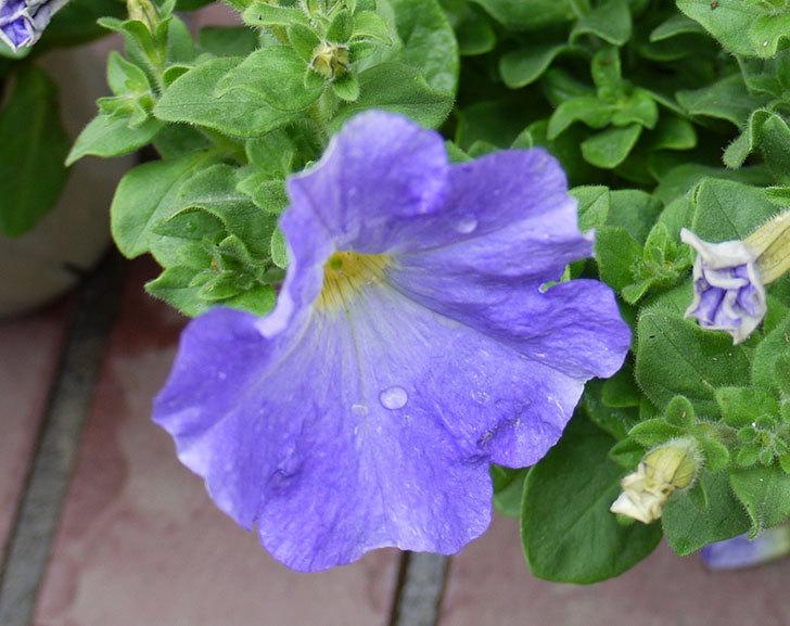 紫のペチュニアをホームズで買って来た6.jpg