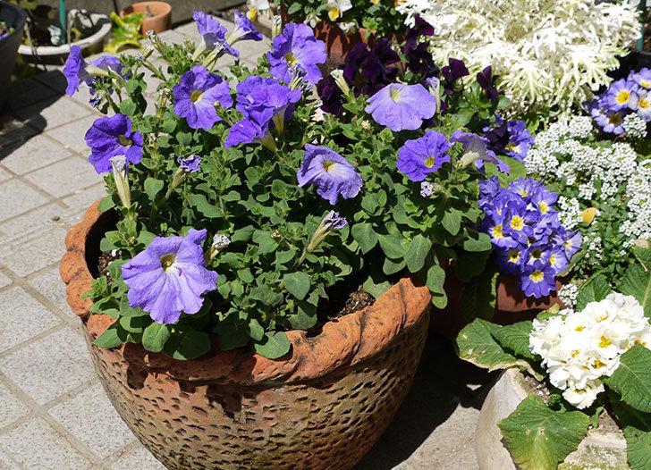紫のペチュニアを鉢に植え替えた1.jpg