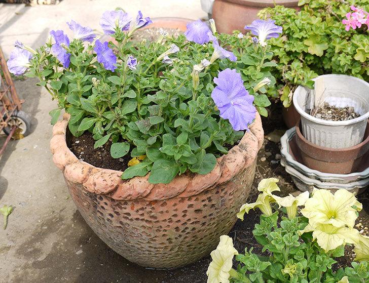 紫のペチュニアを鉢に植え替えた3.jpg