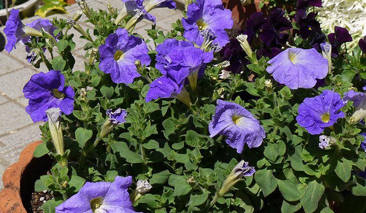 紫のペチュニアを鉢に植え替えた5.jpg