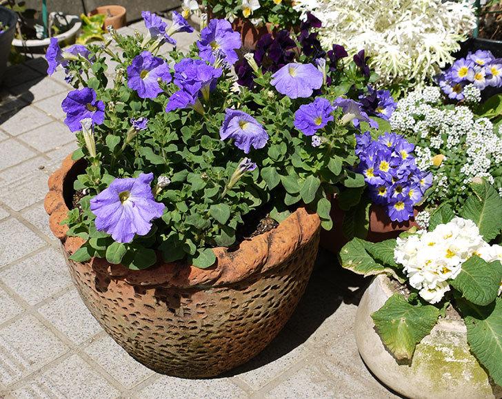 紫のペチュニアを鉢に植え替えた6.jpg