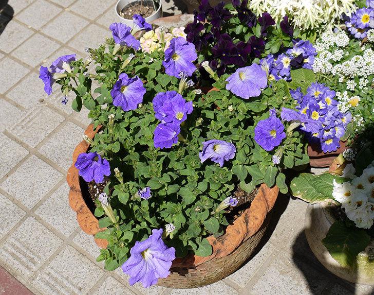 紫のペチュニアを鉢に植え替えた7.jpg