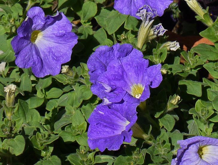 紫のペチュニアを鉢に植え替えた8.jpg