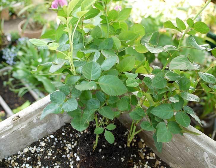 紫のミニバラを鉢に植えた2.jpg