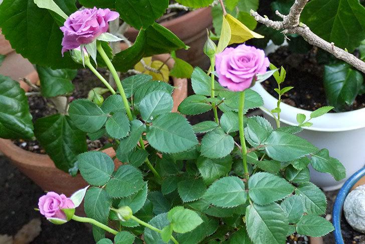 紫のミニバラを鉢に植えた4.jpg