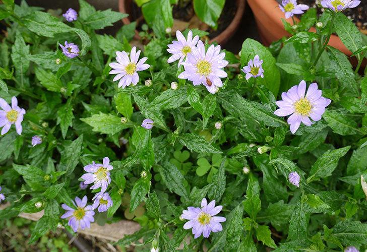紫のミヤコワスレ(ノシュンギク)の花が咲いた。2015年-1.jpg