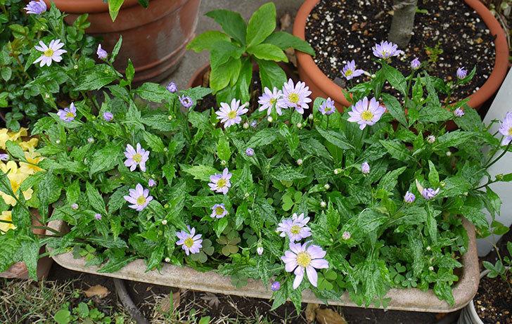 紫のミヤコワスレ(ノシュンギク)の花が咲いた。2015年-2.jpg