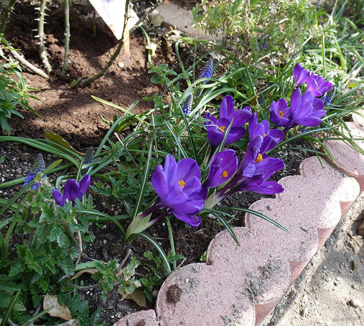 紫ストライプのクロッカスの花が咲いた。2017年-10.jpg