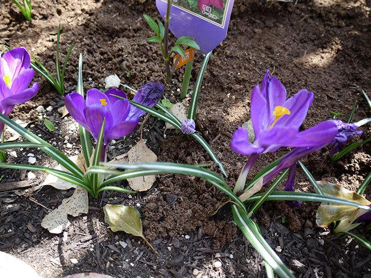 紫ストライプのクロッカスの花が咲いた。2017年-6.jpg
