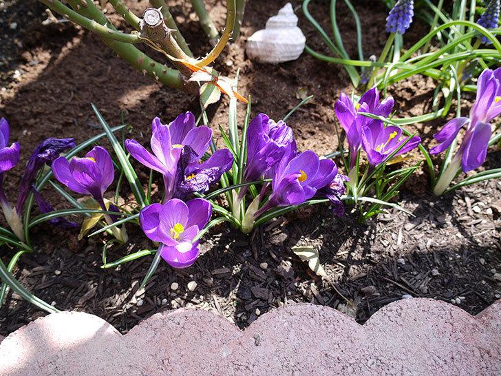 紫ストライプのクロッカスの花が咲いた。2017年-7.jpg