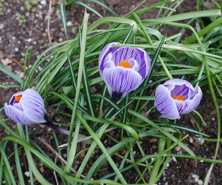 紫ストライプのクロッカスの花が咲いた。2018年-1.jpg