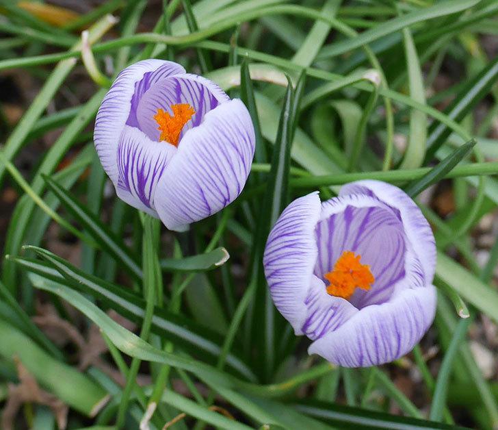 紫ストライプのクロッカスの花が咲いた。2018年-3.jpg