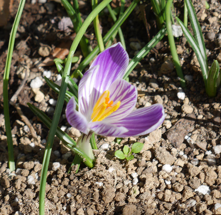 紫ストライプのクロッカスの花が咲いた。2020年-1.jpg