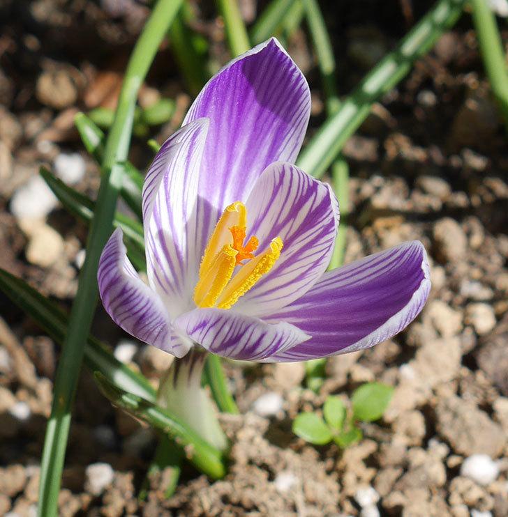 紫ストライプのクロッカスの花が咲いた。2020年-2.jpg
