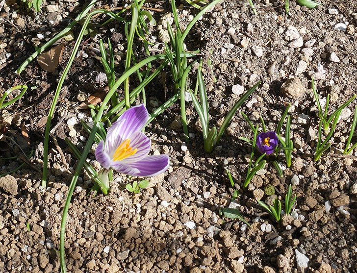 紫ストライプのクロッカスの花が咲いた。2020年-3.jpg