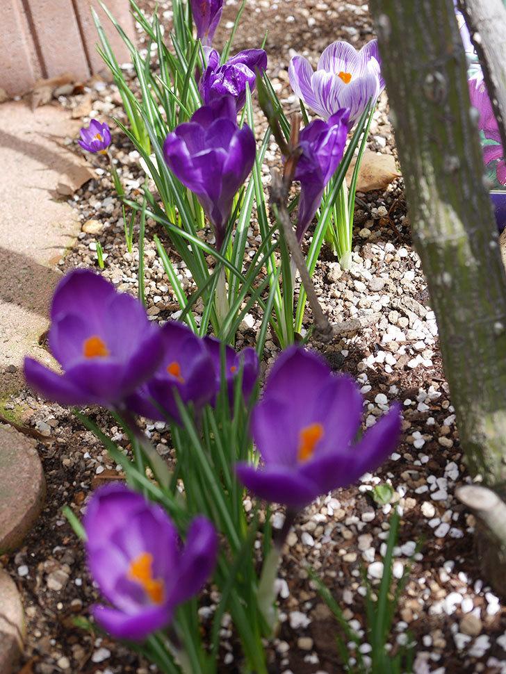紫ストライプのクロッカスの花が咲いた。2021年-001.jpg