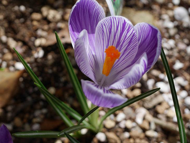 紫ストライプのクロッカスの花が咲いた。2021年-003.jpg