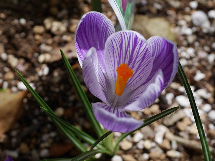 紫ストライプのクロッカスの花が咲いた。2021年-005.jpg
