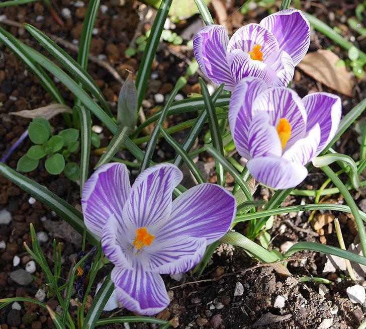 紫ストライプのクロッカスの花が増えて来た。2020年-1.jpg