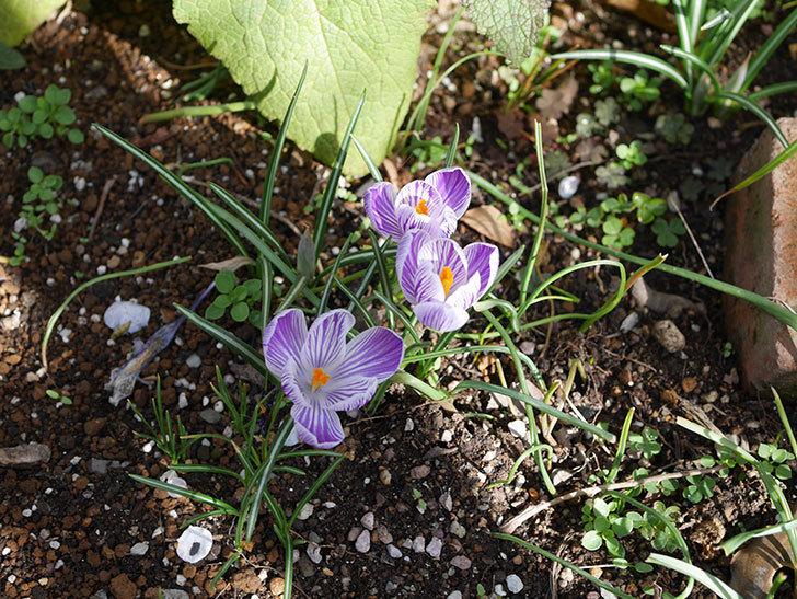 紫ストライプのクロッカスの花が増えて来た。2020年-3.jpg