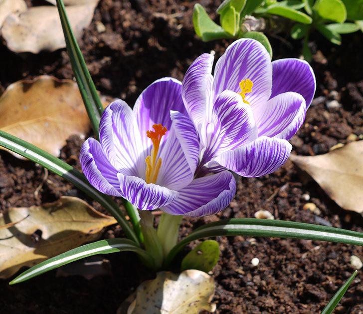 紫ストライプのクロッカスの花が更に咲いた。2017年-1.jpg