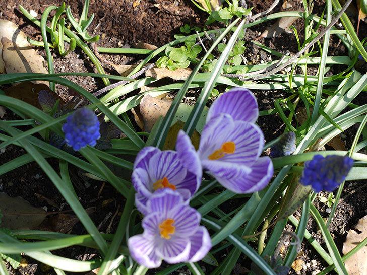 紫ストライプのクロッカスの花が更に咲いた。2017年-2.jpg