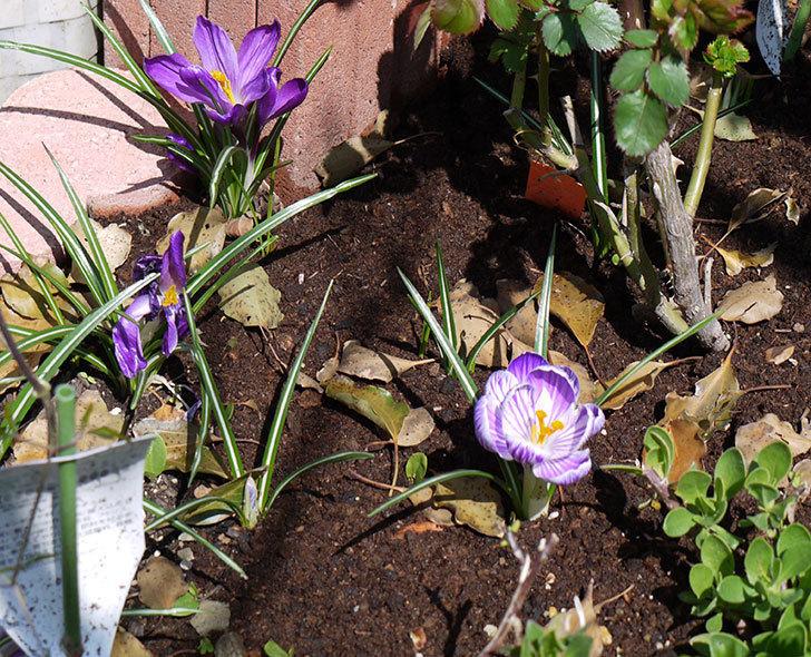 紫ストライプのクロッカスの花が更に咲いた。2017年-3.jpg