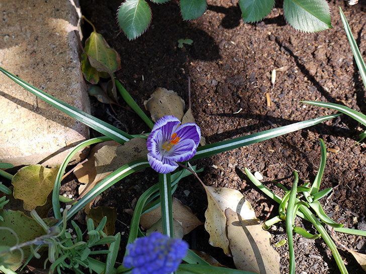 紫ストライプのクロッカスの花が更に咲いた。2017年-4.jpg