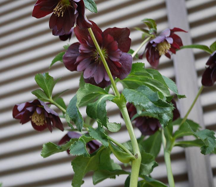 紫ダブルのクリスマスローズの花が増えて来た。2020年-6.jpg