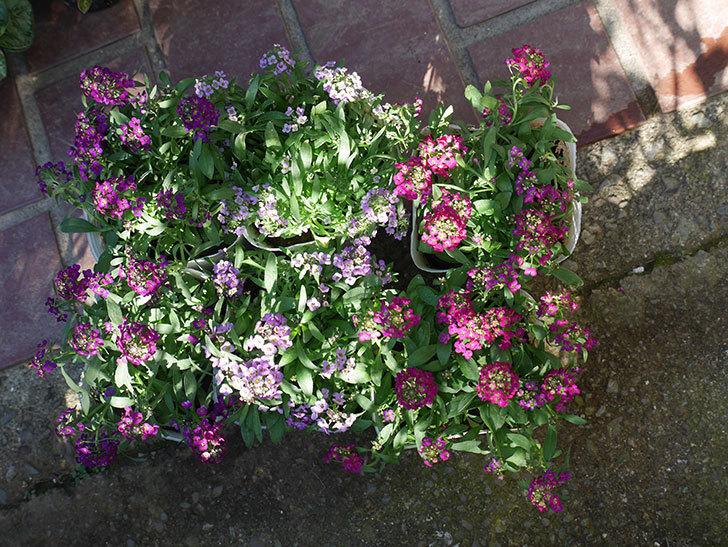紫系のアリッサムの苗をホームズで6個買って来た。2019年-1.jpg